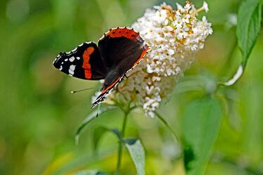 Bild mit Weiß, Baum, Strauch, Schmetterling, blüte, Admiral, Vanessa atalanta, Verblüht, Schmetterlingsflieder