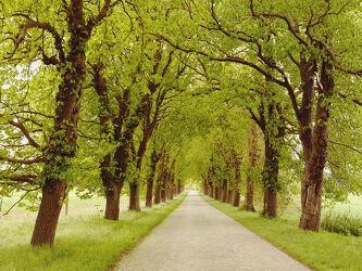 Bild mit Bäume, Herbst, Kopfsteinpflaster, Alleen, Idylle, Rügen, Pflasterung, Alleenstrasse
