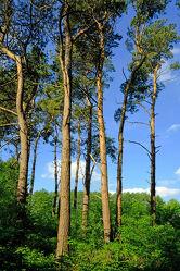 Bild mit Bäume, Wälder, Kiefern, Wald, Baumstämme, Licht, Schatten, stämme, Nutzholz