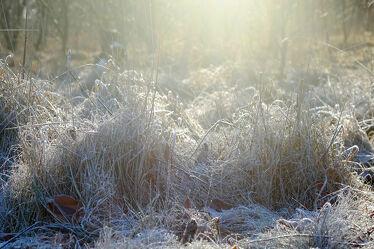 Bild mit Gräser, Wälder, Sonne, Gegenlicht, Licht, Ausspannen, Raureif, Glitzern, Morgenstunde, Schonung