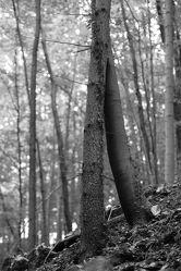 Bild mit Natur, Baum, Landschaft, Laubbaum, Licht, Äste, schwarz weiß, dekorativ, efeu, Schatten, Zweige, schön, zeitlos, Efeuranke