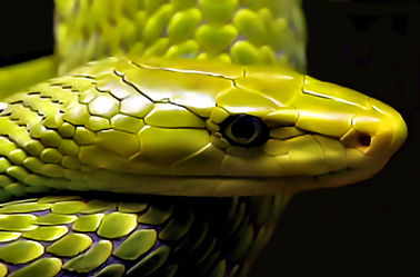 Schlangen Grüne Mamba