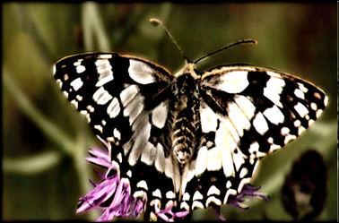 Bild mit Makroaufnahme, DigitalArt, Schmetterling, Makrobilder