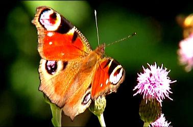 Bild mit Makroaufnahme, Schmetterling, Blumenmakro, Blumenmakro, Digitale Blumen