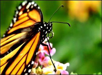 Bild mit Makroaufnahme, Digital Art, Schmetterling, Makrobilder