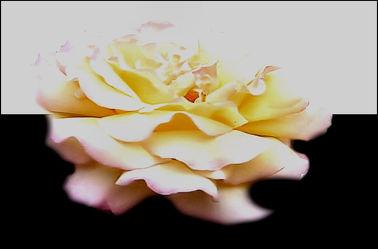 Bild mit Rosen,Makro Rose,Rosenblüte,Blumen im Makro,Digital Art,Digitale Kunst,Blumenmakro,Digitale Blumen