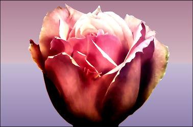 Bild mit Rosen, Rose, Makro Rose, Blumen im Makro, Blumen & Makro