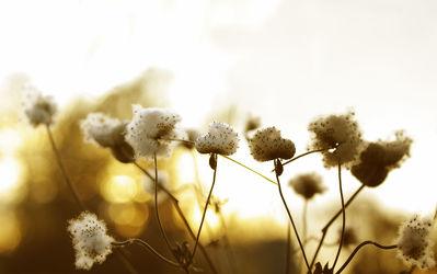 Ziergras Bommeln im Sonnenlicht
