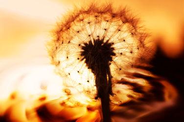 Bild mit Pflanzen, Blumen, Blume, Pflanze, Löwenzahn, Pusteblume, Pusteblumen, Florales Dekor
