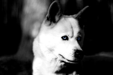 Bild mit Tiere, Hunde, Tier, Hund, Dog, schwarz weiß, SW, hunderasse, schlittenhund