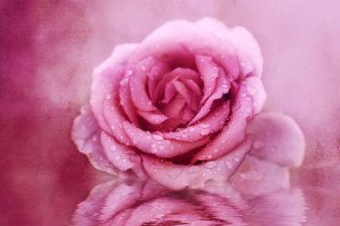 Bild mit Blumen, Blumen, Rosa, Rosen, Roses, Wassertropfen, Regentropfen, Tropfen, Flora, Blüten, Florales Dekor, blüte, nahaufnahme, pink, Tau