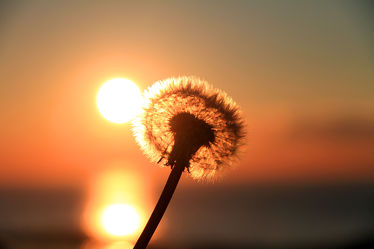Bild mit Natur, Pflanzen, Blumen, Sonnenuntergang, Sonnenaufgang, Blume, Pflanze, Löwenzahn, Pusteblume