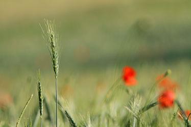 Mohn im Feld