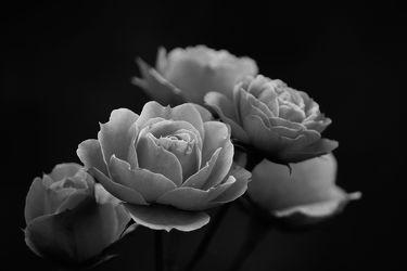 Bild mit Blumen, Rosen, Blume, Rose, Blüten, Portfolio, blüte, schwarz weiß, SW