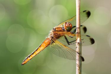 Bild mit Tiere, Natur, Wälder, Insekten, Wald, Tier, Libellen, Libelle, Insekt, Tierbilder, Tierfoto