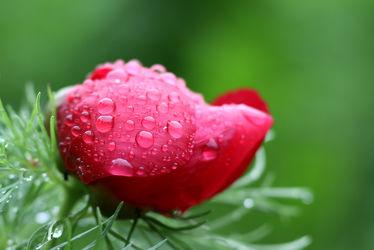 Bild mit Natur, Pflanzen, Blumen, Rosen, Blume, Pflanze, Rose, Makro, Wassertropfen, Regentropfen, Tropfen, pfingstrose