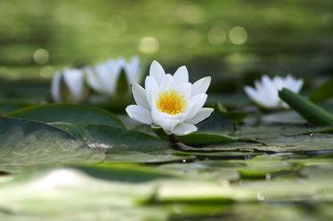 Bild mit Natur,Pflanzen,Gewässer,Seen,Blumen,Blume,Pflanze,See,Entspannung,seerosen,lotus,Wellness,seerose,Erholung,Wasserpflanzen,Lotusblume,Lotusblumen