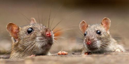 Bild mit Tiere,Natur,Ratten,Tier,Animal,Umwelt,Maus,Mäuse,niedlich,Ratte,cute,süß