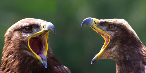 Bild mit Tiere,Natur,Vögel,Vögel,Greifvögel,Greifvögel,Tier,Adler,Steinadler