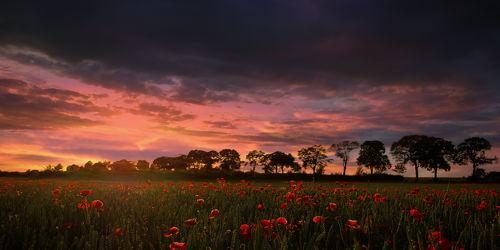 Bild mit Natur, Pflanzen, Landschaften, Bäume, Wälder, Blumen, Sonnenuntergang, Sonnenaufgang, Mohn, Wald, Baum, Landschaft, Blume, Mohnfeld, Feld, Felder, Mohnblumen, Mohnfelder