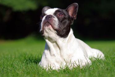 Bild mit Tiere,Natur,Hunde,Tier,Hund,Boston Terrier,Boston Terriers,Hunderasse Boston,Hunderasse Boston,Welpe,Tierfotografie,Animal,Umwelt,Welpen,Tierbild,Tierbilder,Tierfoto,französische Bulldogge,Frenchie