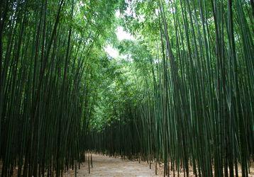 Bild mit Grün, Bambus, bamboo, Tapete, Tapeten Muster, Harmonie in Grün, wandtapete, fototapete, bambuswald, tunnel
