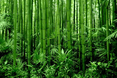 Bild mit Grün, Bambus, bamboo, Tapete, Tapeten Muster, Harmonie in Grün, wandtapete, fototapete, bambuswald