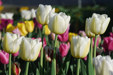 Bild mit Weiß,Frühling,Tulpe,Tulips,Tulpen,weiss,Tulip,intensiv,farbenfroh,leuchtend,tulpenpracht,tulpenbeet,frühblüher,frühjahr,weisse