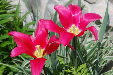 Bild mit Frühling,Tulpe,Tulips,Tulpen,Tulip,leuchtend,tulpenpracht,tulpenbeet,frühblüher,frühjahr