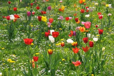Bild mit Frühling,Rot,Tulpe,Tulips,Tulpen,Wiese,Tulip,Bunt,wiesenblumen,intensiv,farbenfroh,leuchtend,tulpenpracht,tulpenbeet,frühblüher,frühjahr,farbig