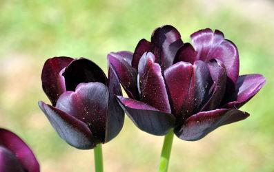 Bild mit Frühling,Tulpe,Tulips,Tulpen,Tulip,Blüten,intensiv,farbenfroh,leuchtend,tulpenpracht,tulpenbeet,frühblüher,frühjahr,zwei,duo,anders,besonders,dunkel