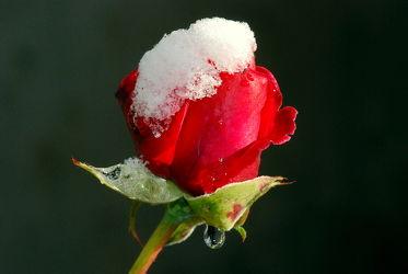 Bild mit Winter, Schnee, Rot, Rosen, Rose, Roses, Schönheit, blüte, beetrose, edelrose, edel, rote, häubchen