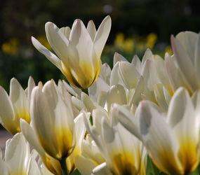 Bild mit Frühling,Tulpe,Tulips,Tulpen,weiss,Tulip,tulpenbeet,frühblüher,frühjahr,Deko,dekorativ,weisse tulpen