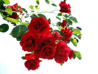 Bild mit Natur, Pflanzen, Blumen, Rosen, Blume, Pflanze, Rose, Blüten, blüte