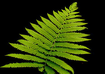 Bild mit Grün,farn,Wellness,Tapete,fototapete,farnblatt,farnblätter,green,grüntöne,wandschmuck,wandtapet