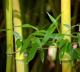 Bild mit Grün, Bambus, bamboo, Wellness, Tapete, fototapete, Deko, dekorativ, green, grüntöne, wandschmuck, wandtapet, beauty, bambusrohr