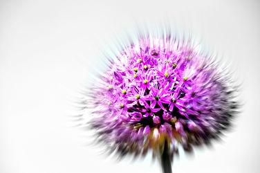 Bild mit Lila,Violett,Abstrakt,Blütenreich,blüte,dekorativ,wandschmuck,lauch,digital bearbeitet,Zierlauchblüte,Kugel,Zierlauch