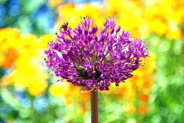 Bild mit Lila,Violett,Abstrakt,Blütenreich,blüte,farbenfroh,dekorativ,wandschmuck,lauch,digital bearbeitet,Zierlauchblüte,Kugel,Zierlauch