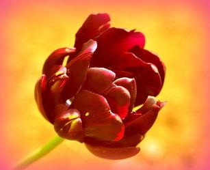 Bild mit Tulpe,Tulpen,warm,Deko,dekorativ,wandschmuck,digital bearbeitet,tulpenblüte,Poesie