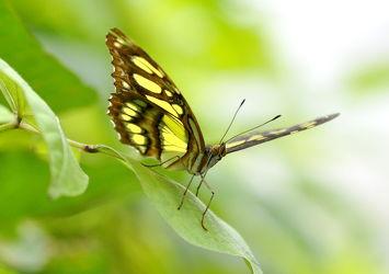 Bild mit Insekten, Schmetterlinge, Schmetterlinge, Tier, Schmetterling, exotische Schönheiten, butterfly, papillon, Tagfalter, Falter, Insekt