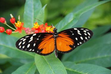 Bild mit Schmetterlinge, Schmetterling, exotische Schönheiten, butterfly, papillon, Tagfalter, Falter, farbenprächtig, schillernd
