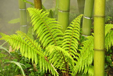 Bild mit Pflanzen, Bambus, Pflanze, farn, Wellness, bambuswald, farnblatt, farnblätter, bambusstangen, bambusrohr, bambuspflanze, Bambusblatt, Bambusblätter