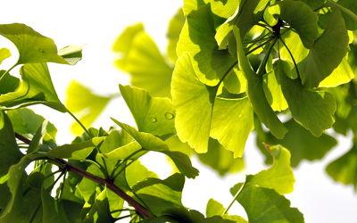 Bild mit Grün,Baum,Blätter,green,grüntöne,ginkgo,ginkgobaum,ginkgoblätter,ginko,ginkobaum,ginkoblätter,harmonie