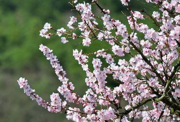 Bild mit Rosa, Frühling, weiss, Mandelblüte, Frühlingsgefühle, Mandelblüten, frühjahr, zart, mandelbäumchen, dekorativ