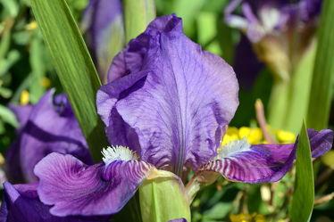 Bild mit Lila,Violett,Makro,Iris,Blütenreich,nahaufnahme,macro,sibirische,schwertlilie