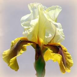 Bild mit Gelb, Iris, Quadratisch, Blütenreich, blüte, nahaufnahme, schwertlilie, gelbtöne, quadrat, schwertlilien