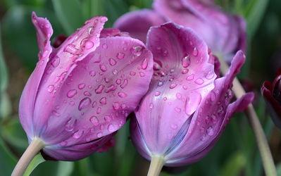 Bild mit Lila,Violett,Tulpe,Tulpen,Regentropfen,Tropfen,nahaufnahme,tulpenblüten,tulpenblüte