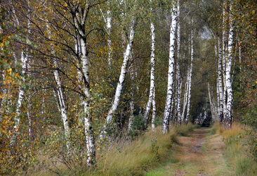 Bild mit Bäume, Birken, Baum, Birke, Weg, Waldweg, Spazierweg, Allee, birkenallee