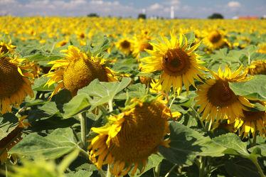 Sonnenblumen 07