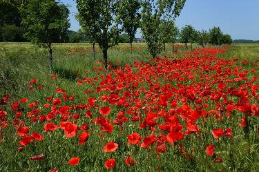 Bild mit Blumen, Mohn, Blume, Mohnblume, Klatschmohn, Mohnfeld, Mohnblumen, Mohnfelder, Mohnblumenfeld